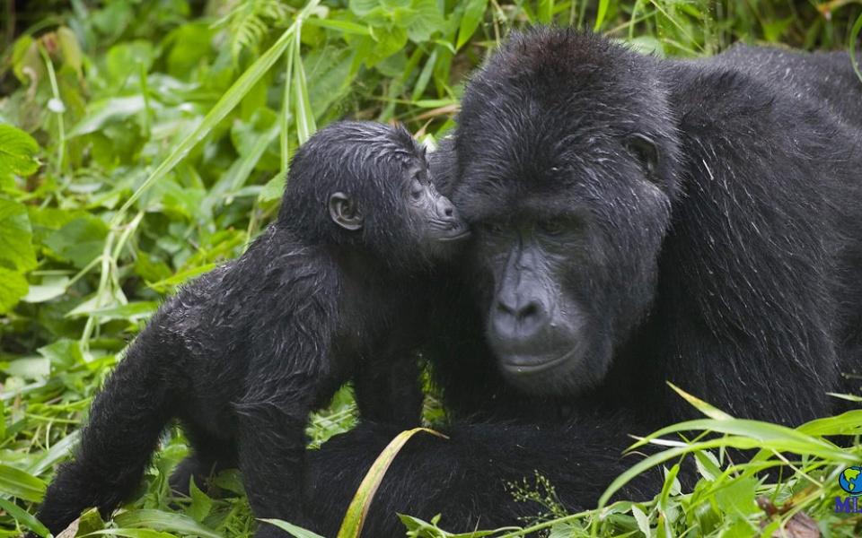 Viaje a Uganda: Gorila Trek Confort - Club Marco Polo