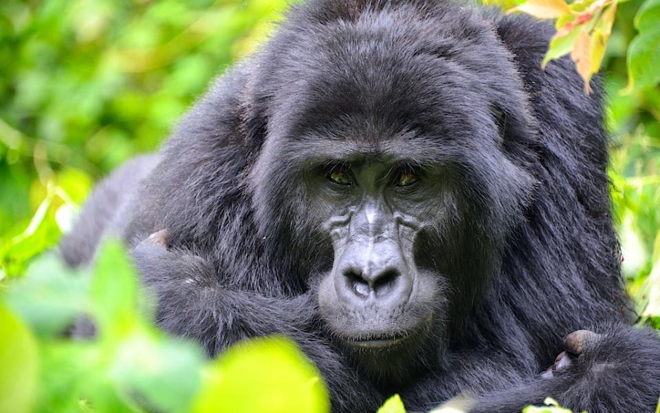 Viaje a Uganda y Ruanda: Gorila Trek Clásico - Club Marco Polo
